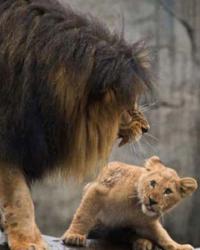Yavru aslanların baba aslanlarla ilk karşılaşması