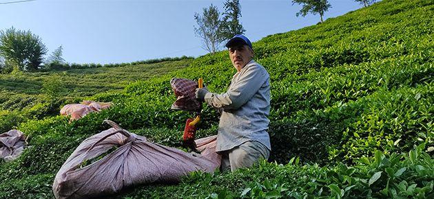 Çayda 3. Sürgün hasadı sıkıntılı başladı