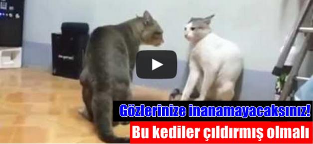 Kediler kapıştı: VİDEO