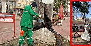 120 yıllık defne ağacı tedavi edildi
